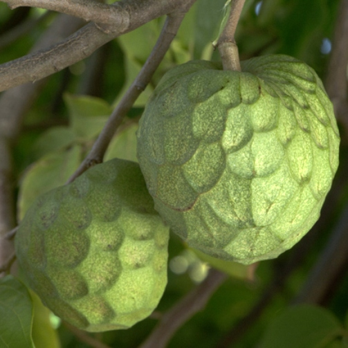 Bonita cherimoyas on the tree at Anthony Brown's Rincon Del Mar Ranch in Carpinteria. 2/25/13 © David Karp