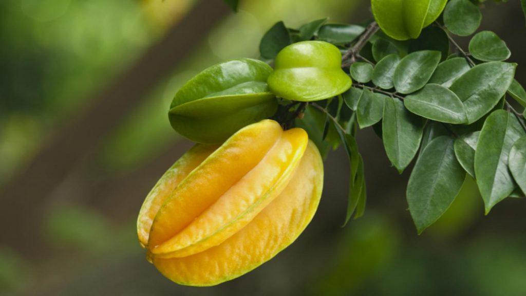 star-fruit-grow_ca68ea38b4ff45b2